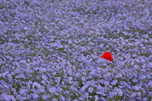 Blaue Blumen mit Klatschmohn