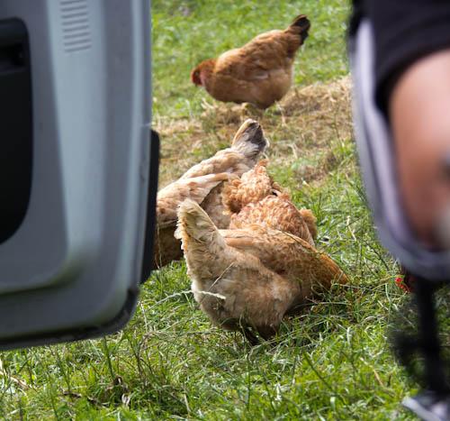 Mittagspause mit Hühnern und Womo