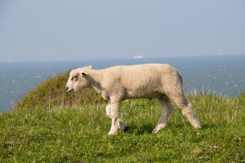 Windgestählte Nordsee-Osterlämmer. Wenn der Wind mal kurz aufhört, fallen sie sicher um.