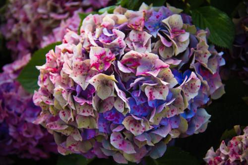 … allgegenwärtige Hortensien