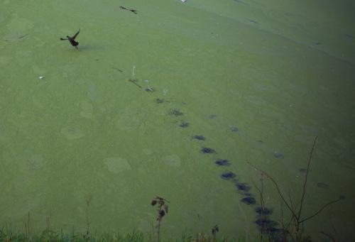 Entengrütze bedeckte das Gewässer beim Hebewerk No. 3, nur die Enten machten kurz Löcher rein, die sich aber sofort wieder schlossen.