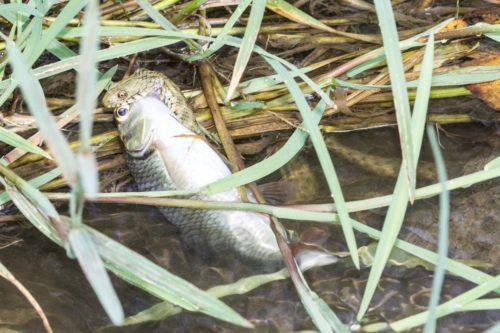 RIngelnatter fisch Turda Schlucht