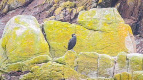 """Laut Bestimmungsbroschüre eher eine Krähenschabe oder auch """"Seekrähe"""". Sie ist nicht schwarz, sondern dunkelgrün, hat einen gelben Schnabelwinkel und er sitz immer oben auf dem Felsen, weil er nicht wasserdicht ist und immer wieder trocknen muss."""