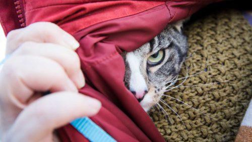 Katze versteckt sich unter der Jacke und schaut über der Schulter hervor