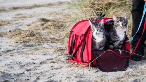 Zwei Katzen am Strand schauen aus einer Tasche heraus