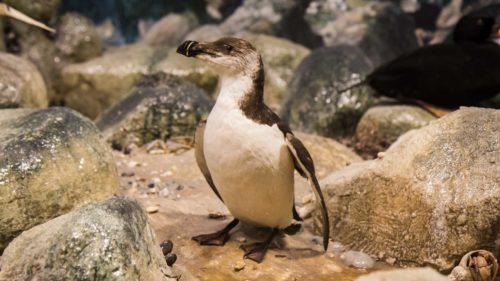 """Nein. Die sehen zwar so aus, und vertrackterweise heißen sie auf französisch auch noch """"Petit Pingouin"""" – aber nein. Wirklich nicht. Ein Tordalk."""